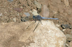 Southern Skimmer Dragonfly Royalty Free Stock Photo