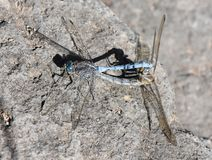 Southern skimmer Orthetrum brunneum Royalty Free Stock Photo