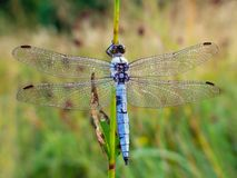 Southern skimmer (Orthetrum brunneum) Stock Images