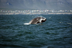 Southern smooth whale jumping out of the water stock photography