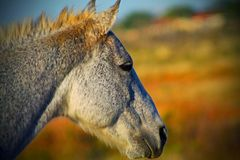 Southern stallion Royalty Free Stock Images