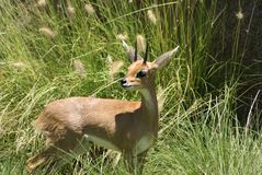 Southern Steenbok Stock Images