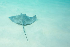 Southern Sting Ray swims along clean ocean floor Royalty Free Stock Photos