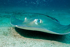 Southern Stingray Stock Photography