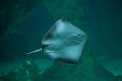 Southern stingray Dasyatis americana. Stock Photos