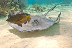 Southern stingray and fish Stock Photography