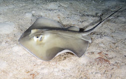 Southern Stingray Royalty Free Stock Photos