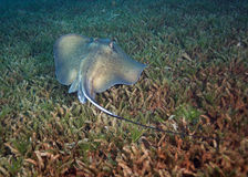 Southern Stingray in Sea Grass Royalty Free Stock Photos