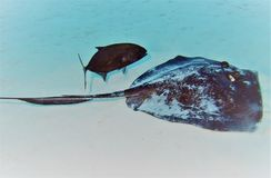 Southern Stingray w/ Bar Jack. A Southern Stingray feeds in the ocean sand while shadowed by a Bar Jack, looking for leftovers Stock Photography