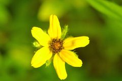 Southern Stone seed Wild Flower Stock Images