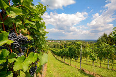 Southern Styria Austria - Red wine: Grape vines in the vineyard before harvest Royalty Free Stock Image