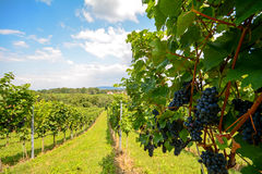 Southern Styria Austria - Red wine: Grape vines in the vineyard before harvest Stock Photography
