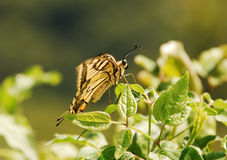 Southern Swallowtail Butterfly Stock Images