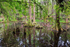 Southern Swamp Charleston South Carolina Royalty Free Stock Photos