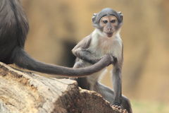 Southern talapoin Royalty Free Stock Images