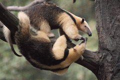 Southern tamandua Royalty Free Stock Photos