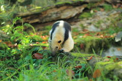 Southern tamandua. The southern tamandua strolling in the grass royalty free stock images