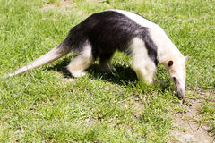 Southern Tamandua, Tamandua tetradactyla inhabits savannas and forests of South America Royalty Free Stock Images