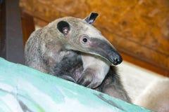 Southern tamandua (Tamandua tetradactyla) Stock Image