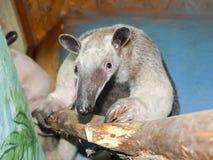 Southern tamandua (Tamandua tetradactyla) Royalty Free Stock Photos