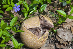 Southern three-banded armadillo (Tolypeutes matacus). In the grass Royalty Free Stock Images
