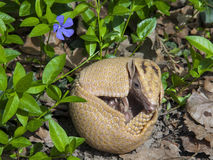 Southern three-banded armadillo (Tolypeutes matacus) Royalty Free Stock Image