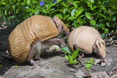 Southern three-banded armadillo (Tolypeutes matacus) Stock Photography