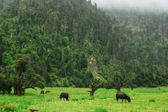 Southern Tibet Plateau forest ditch Linzhi Stock Photography