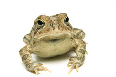 Southern Toad Close Stock Photo