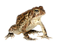 Southern Toad Closeup Isolated on White Stock Images