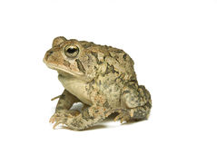 Southern Toad Profile Royalty Free Stock Photos