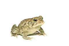 Southern Toad Right Profile Stock Image