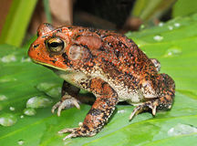 Southern Toad on Tropical Plant Stock Image