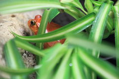 Southern tomato frog Stock Photo
