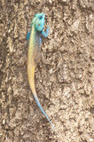 Southern tree agama. Large agama, breeding males dramatically colored Stock Photo