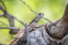 Southern tree agama on a branch. Stock Image