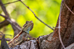 Southern Tree Agama in the tree. Stock Photos