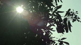 Southern trees in the sun of the Cala Mendia. Mallorca