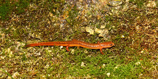 Southern Two-lined Salamander (Eurycea cirrigera) Royalty Free Stock Photography
