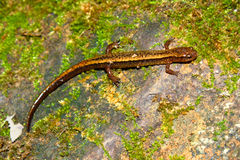 Southern Two-lined Salamander Indiana Royalty Free Stock Image