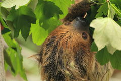 Southern two-toed sloth Stock Photography