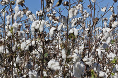 Southern USA Cotton Field. Southern USA field of cotton silhouetted by a blue autumn sky Royalty Free Stock Image