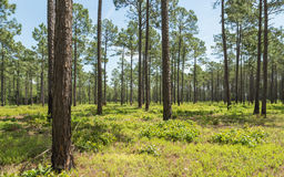 Southern USA Pine Forest Royalty Free Stock Photography