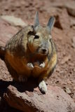 Southern Viscacha. Potosí department. Bolivia Royalty Free Stock Photography