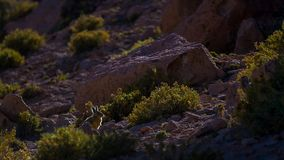 Southern Viscacha or Vizcacha Lagidium Viscacia in the High Andean Plateau desert in Bolivia stock photo