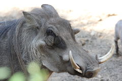 Southern Warthog Stock Photo