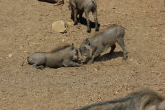 Southern warthog Royalty Free Stock Images
