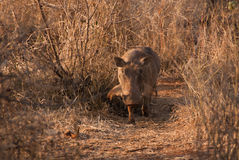 Southern warthog Stock Photography