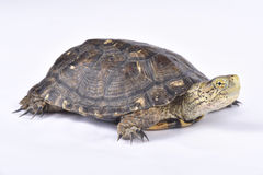 Southern Western Pond Turtle, Actinemys pallida. The Southern Western Pond Turtle, Actinemys pallida, is a medium sized turtle species found din the United Stock Images