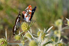 Southern White Admiral butterflies Royalty Free Stock Image